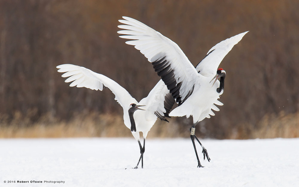 Japanese Red-Crowned Cranes Choreography