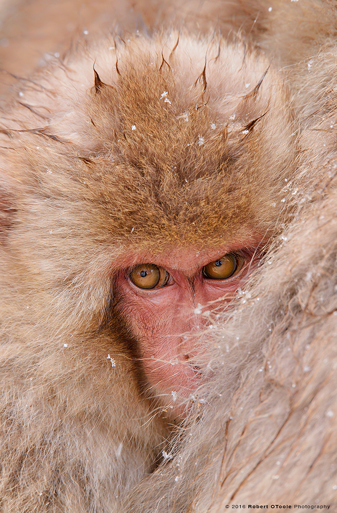 Snow Monkey Baby Cuddling to Keep Warm