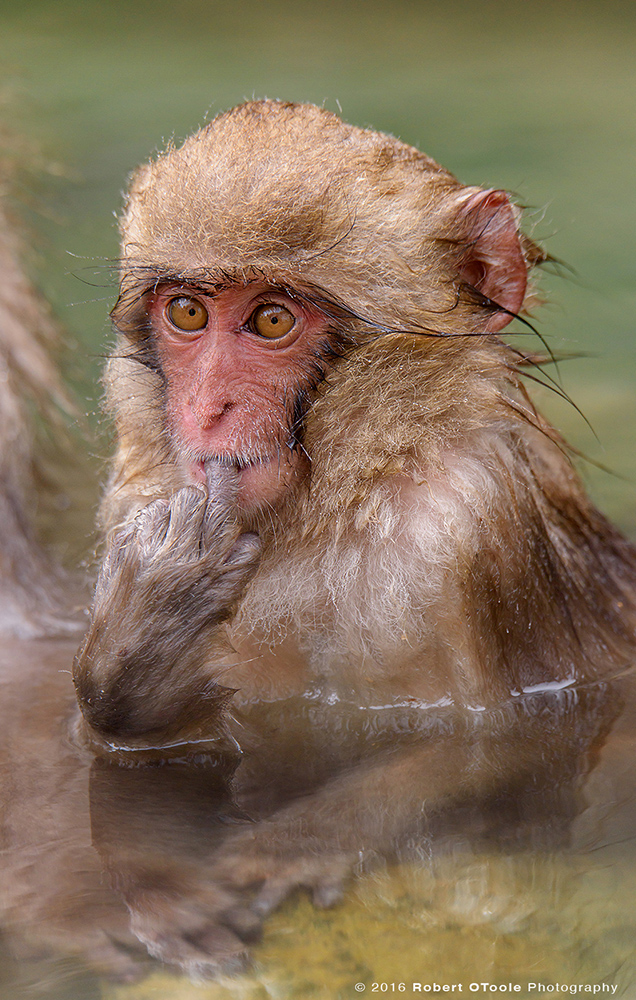 Snow Monkey Baby in Green Water