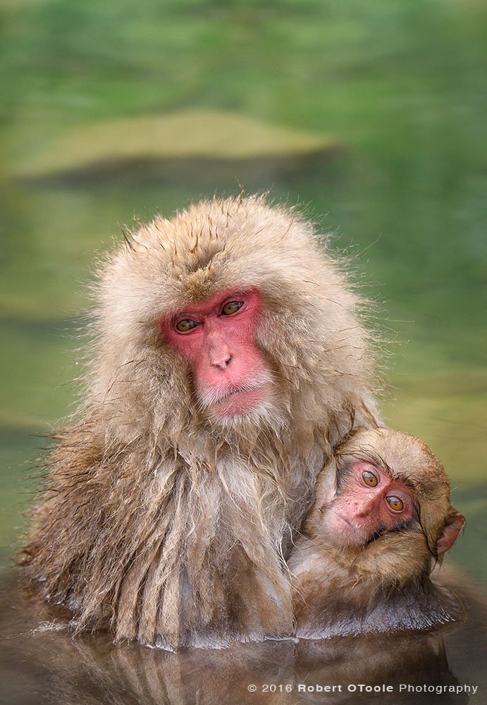 Snow Monkeys In Natural Hot Spring Pool