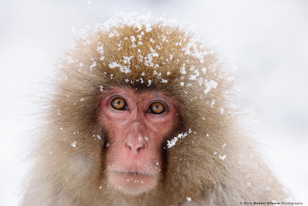 Snow Monkey Adult with Snow Flakes