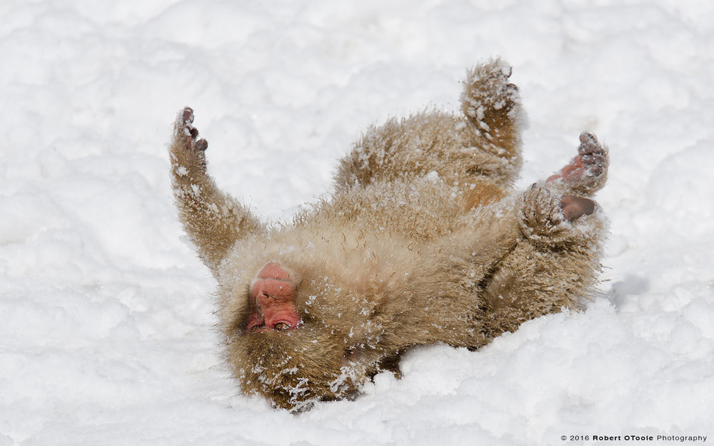Japanese Macaque Adult Rolling in Snow