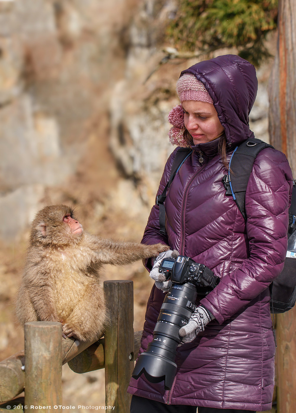 Snow Monkey Baby Making Contact with Photographer