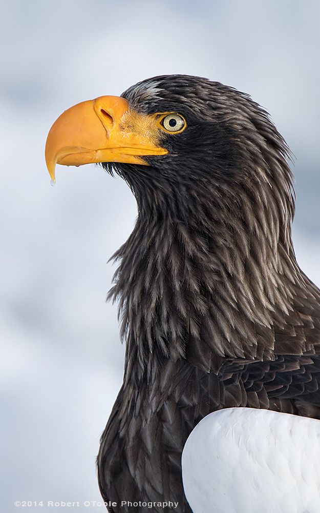 Steller's Sea Eagle Portrait