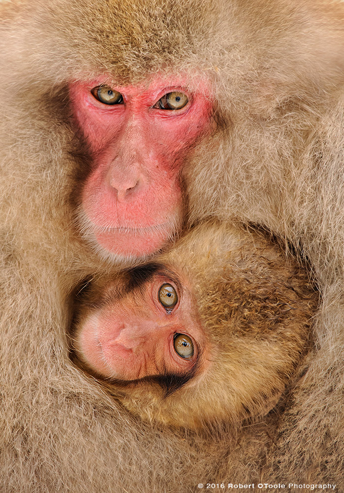 Snow Monkey Pair Making Eye Contact