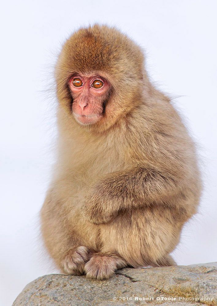 Japanese Macaque Baby Sitting up on Rock