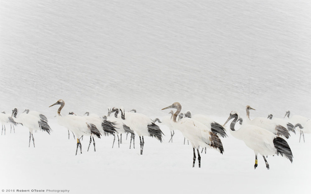 Group of Red-Crowned Cranes During Blizzard