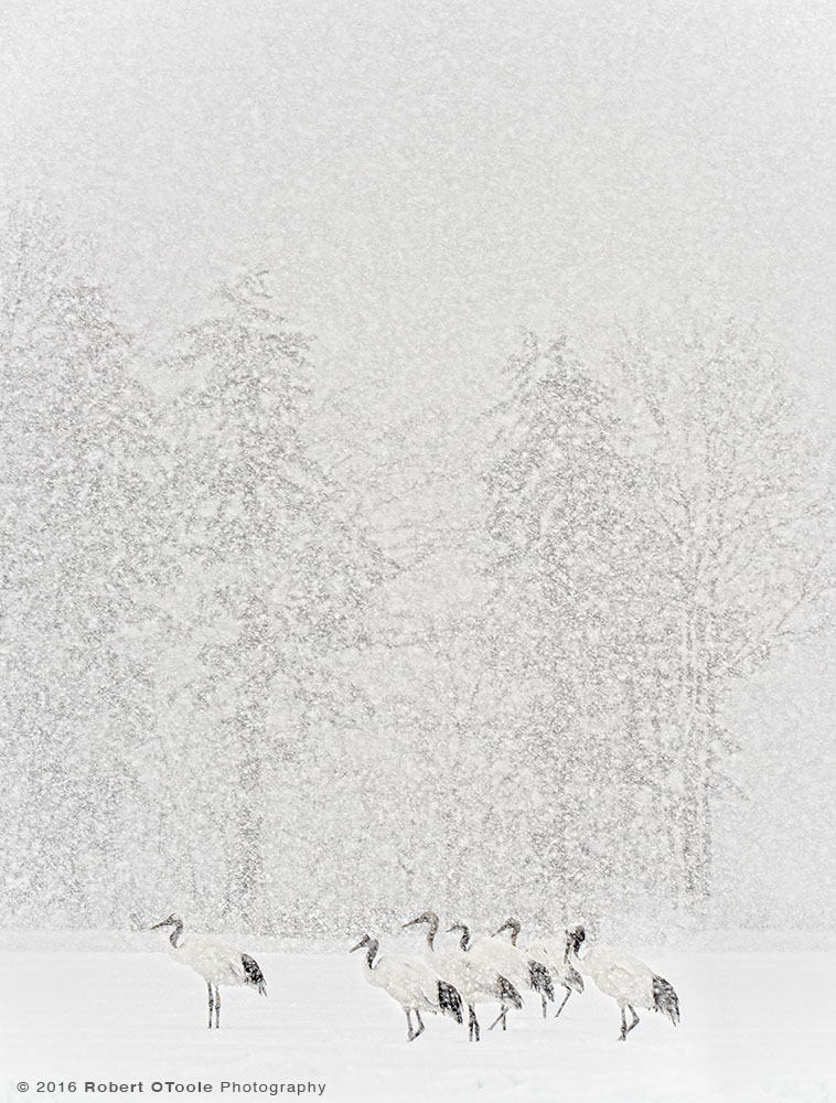 Group of Red-Crowned Cranes in Snowstorm
