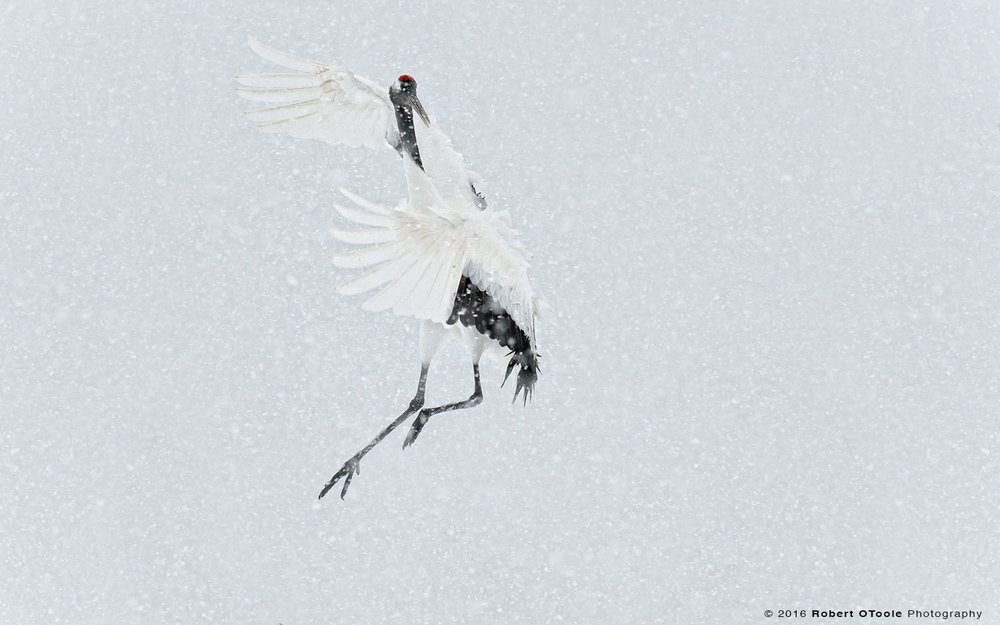 Japanese Red- Crowned Crane Dancing in Snowstorm