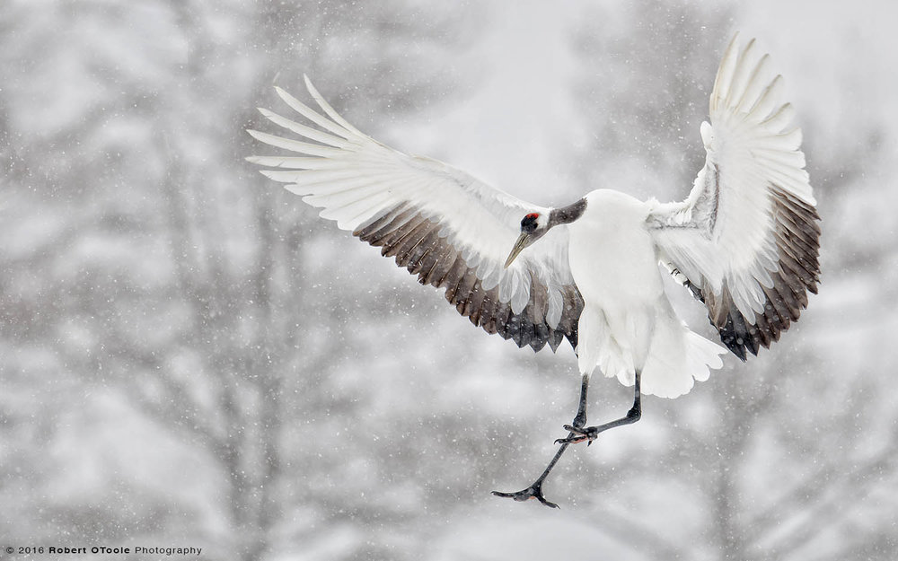 Red-Crowned Crane Adult Landing in Snow