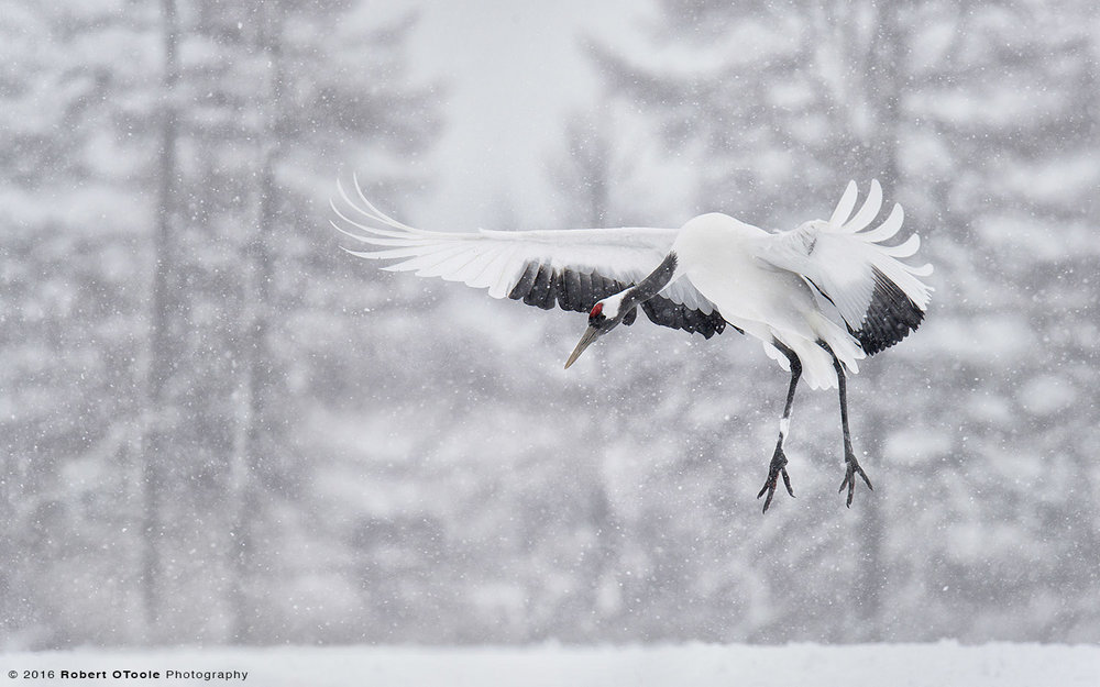 Japanese Red- Crowned Crane Landing in Snow