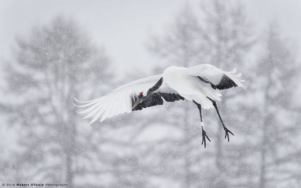 japanese-red-crowned-crane-landing-in- heavy snow-Robert-OToole-Photography