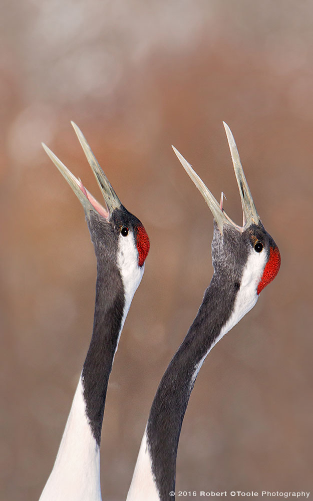 Red-Crowned Crane Pair Calling