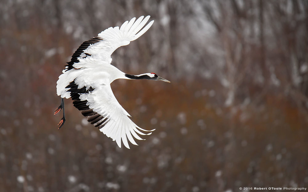 Red-Crowned Crane Banking