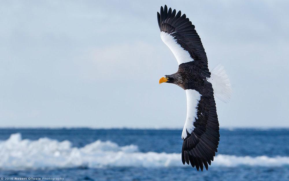 Stellers Sea Eagle Banking over the Okhotsk Sea