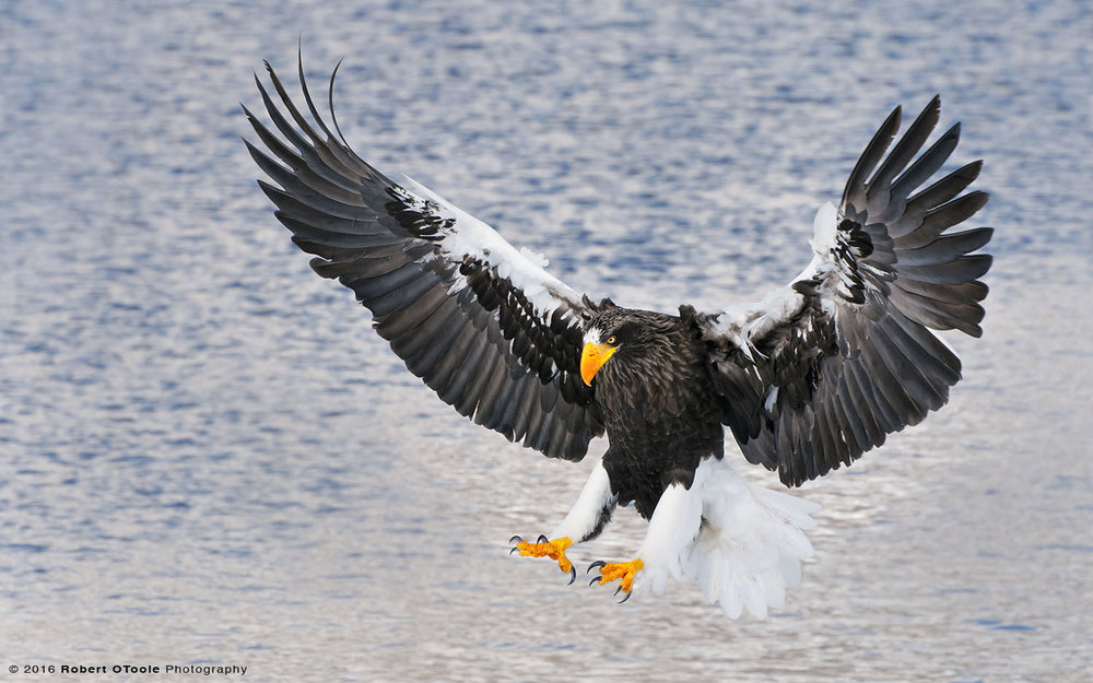Steller's-Sea Eagle against Blue Water