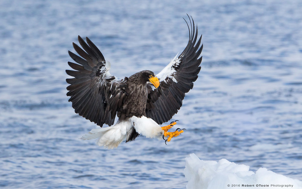Steller's Sea Eagle Landing on Ice
