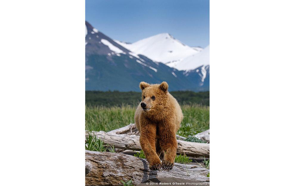 Bear-cub-jump-portrait-Katmai-Alaska-Robert-OToole-Photography-2016