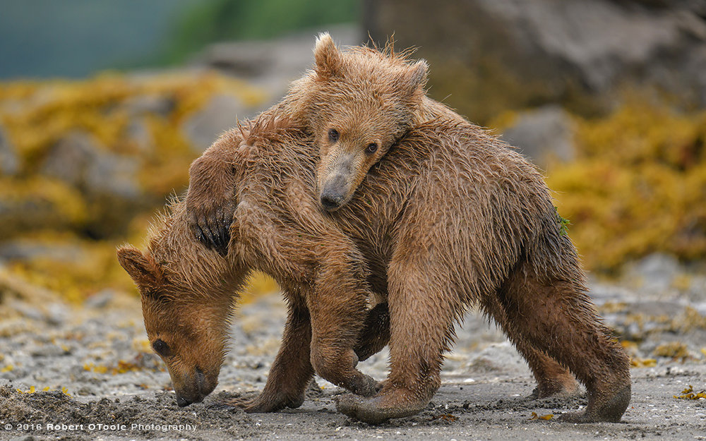 Bear-cub-play-Katmai-Alaska-Robert-OToole-Photography-2016-86