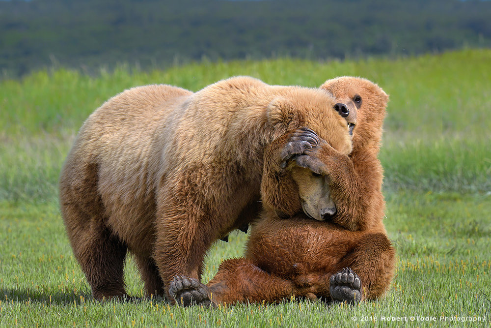 Bear-Mother-and-cub-rolling-Katmai-Alaska-Robert-OToole-Photography-2016.JPG