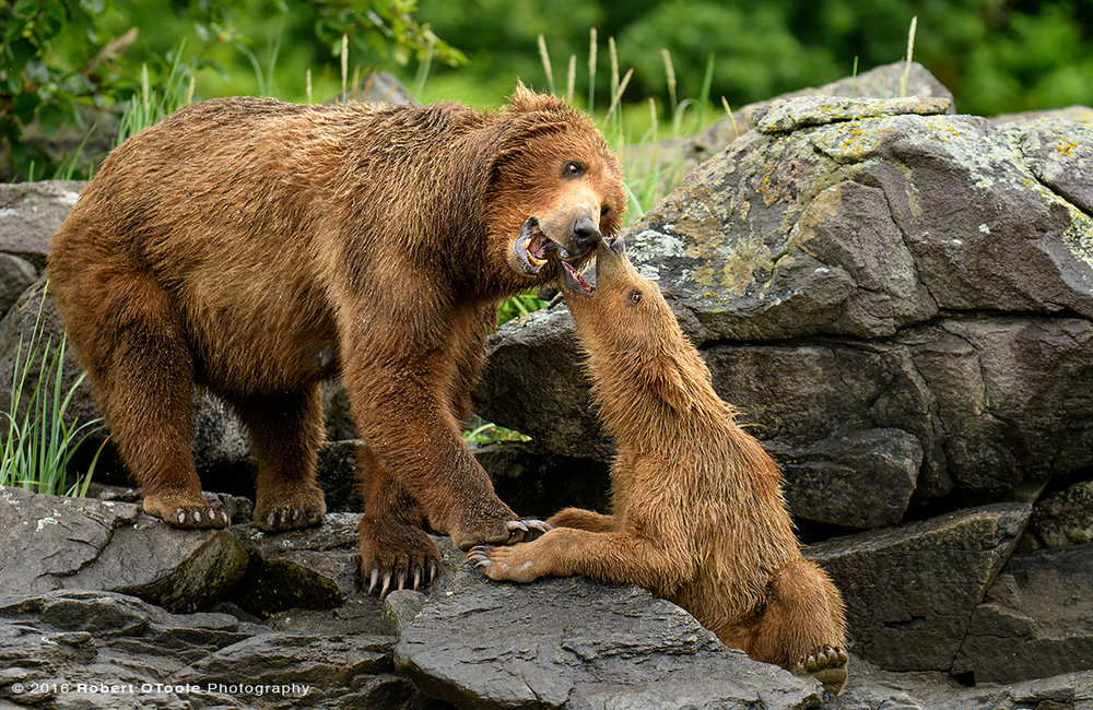 Bear-mother-cub-playing-on-the-rocks-Katmai-Alaska-Robert-OToole-Photography-2016-3421