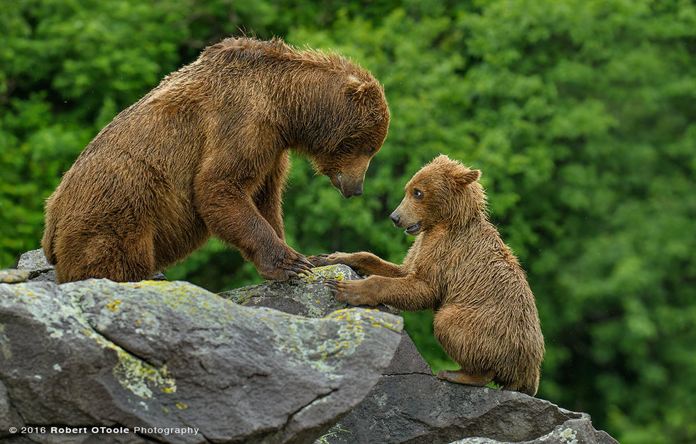 Bear-mother-cub-playing-on-the-rocks-Katmai-Alaska-Robert-OToole-Photography-2016-3491