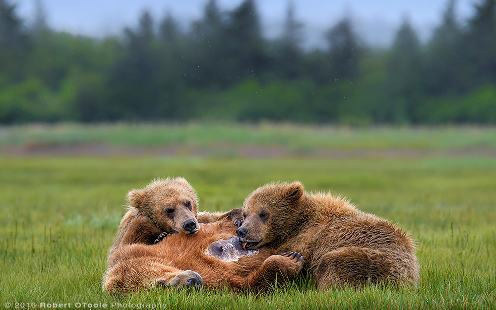 Bear-mother-nursing-Katmai-Alaska-Robert-OToole-Photography-2016.JPG