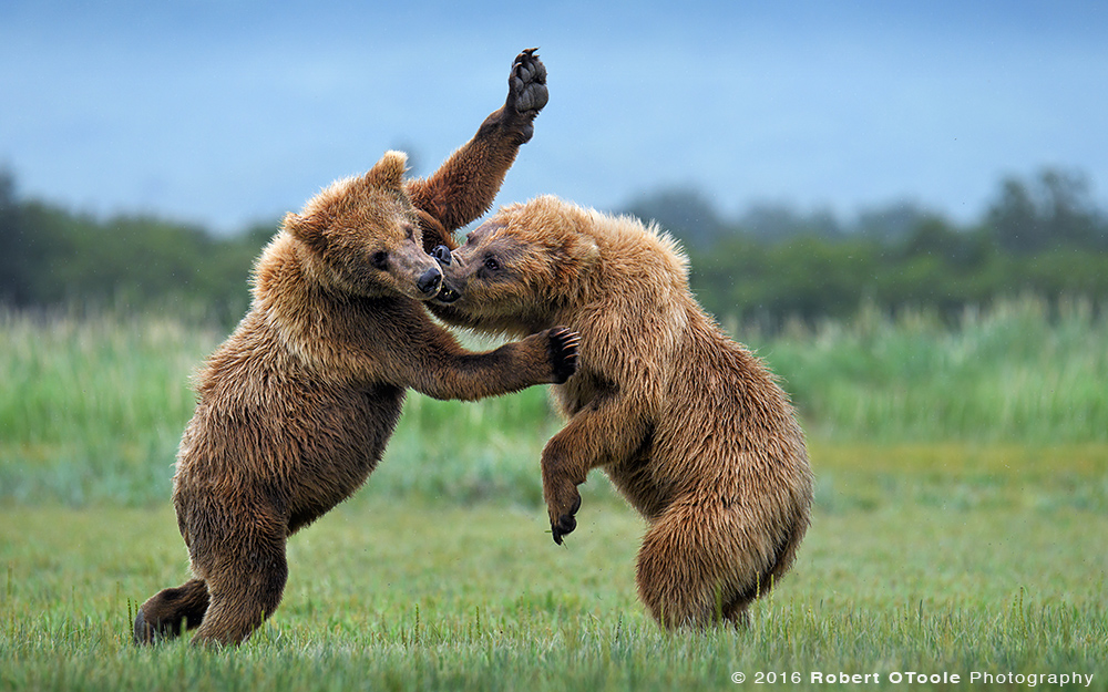 Bears-battling-Katmai-Alaska-Robert-OToole-Photography-2016-9973