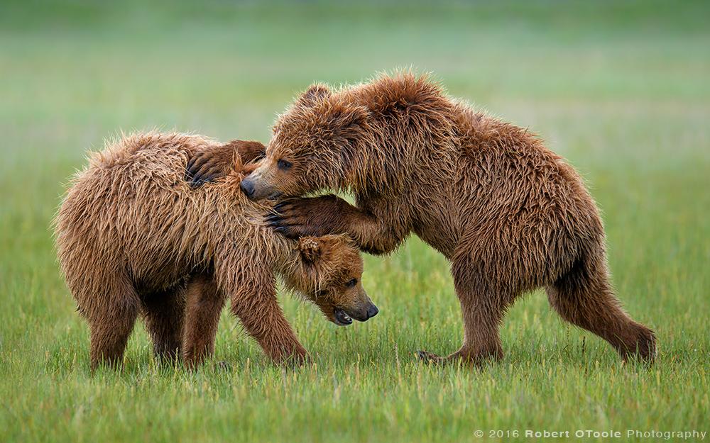 Bears-Juvi-wrestling-Katmai-Alaska-Robert-OToole-Photography-2016