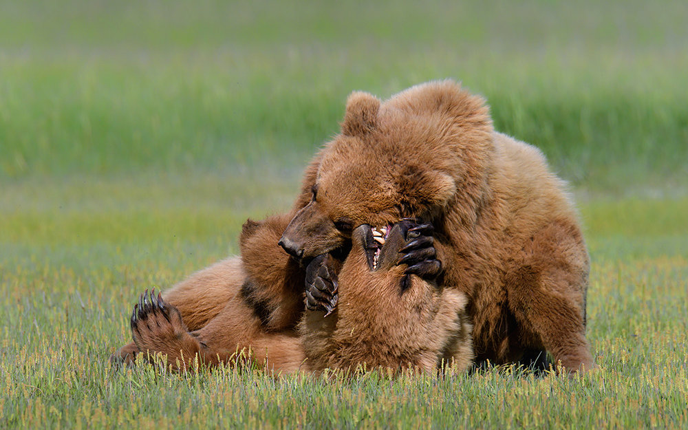 Two-Cubs-Katmai-Alaska-Robert-OToole-Photography-2016