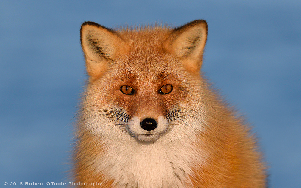 Hokkaido-red-fox-Japan-Robert-OToole-Photo-2016