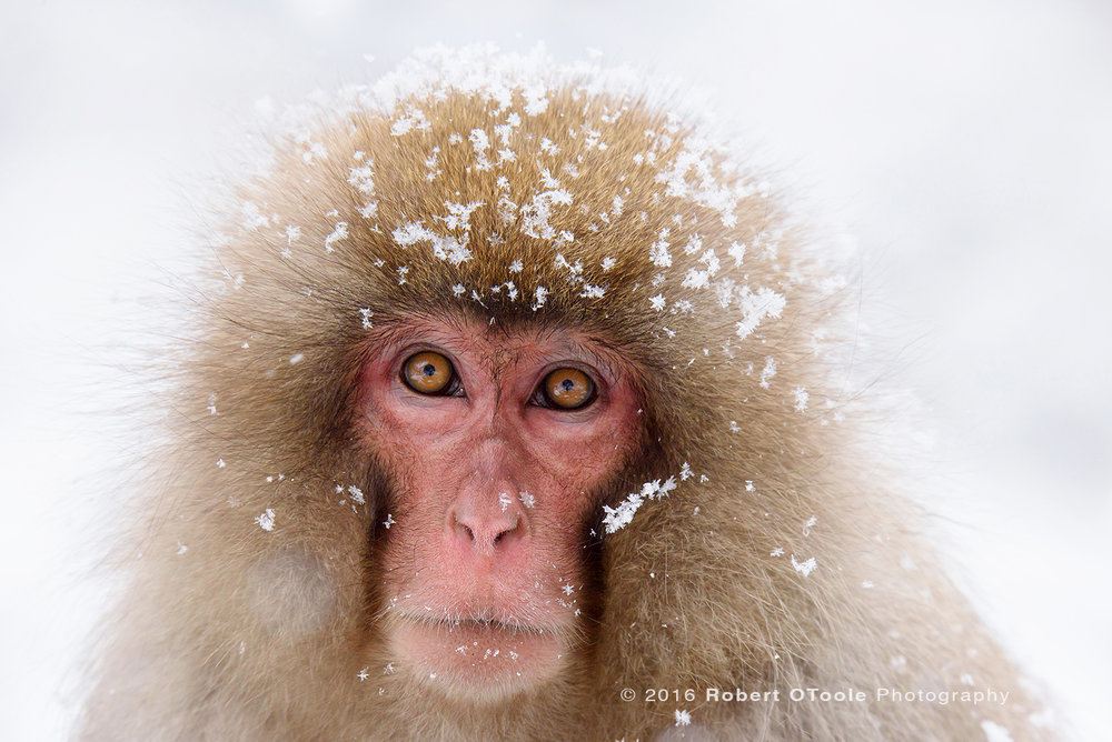 Japanese-snow-monkey-flake-portrait-Japan-Robert-OToole-Photo-2016