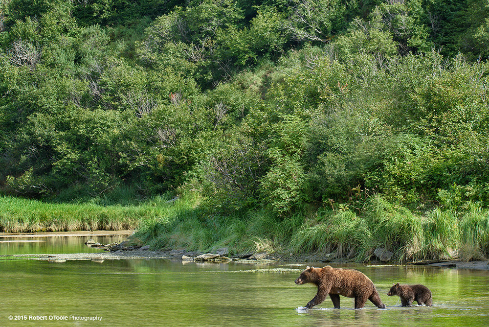 Brown-bear-and-cub-crossing-creek-2015-Robert-OToole-Photography