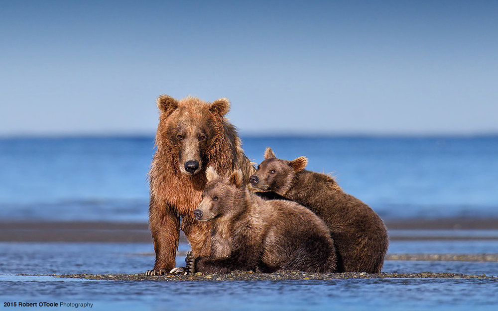 Brown-bear-and-two-cubs-Alaska-2015-Robert-OToole-Photography