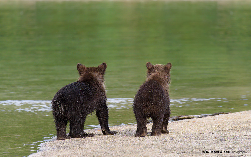 Brown-bear-spring-cubs-waiting-for-mother-bear-Robert-OToole-Photography