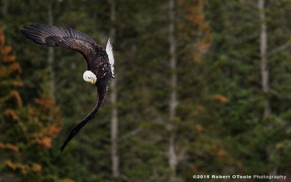Eagle-banking-Robert-OToole-Photography-2015