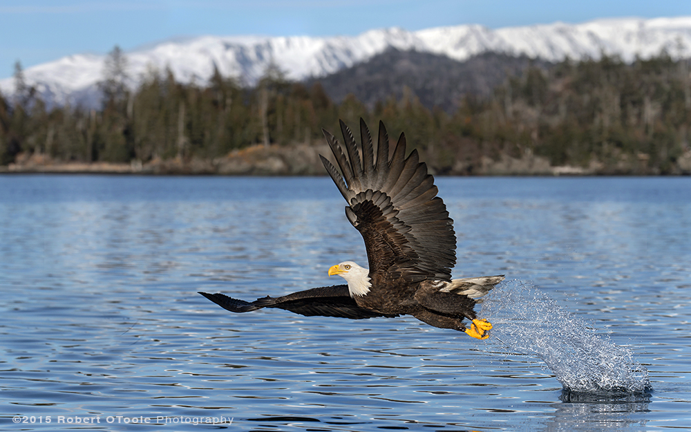 Eagle-wide-angle-blue-water-Robert-OToole-Photography-2015