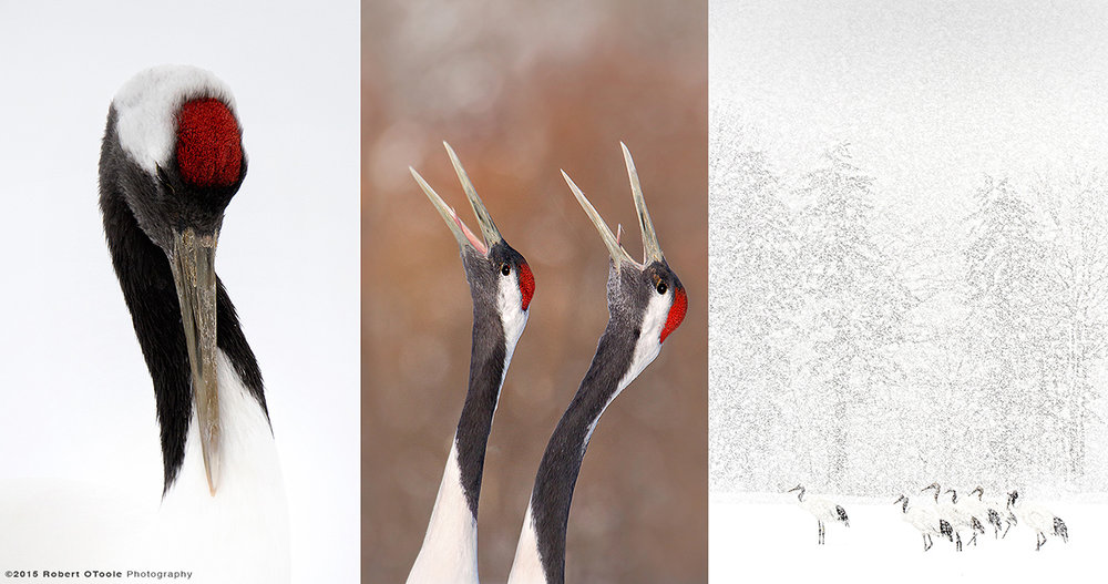 Japanese-red-crowned-cranes-Robert-OToole-2015