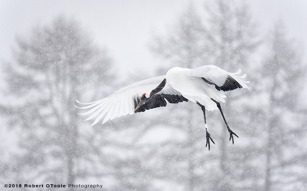 Japan-Crane-landing-in-snow-Robert-OToole-2015