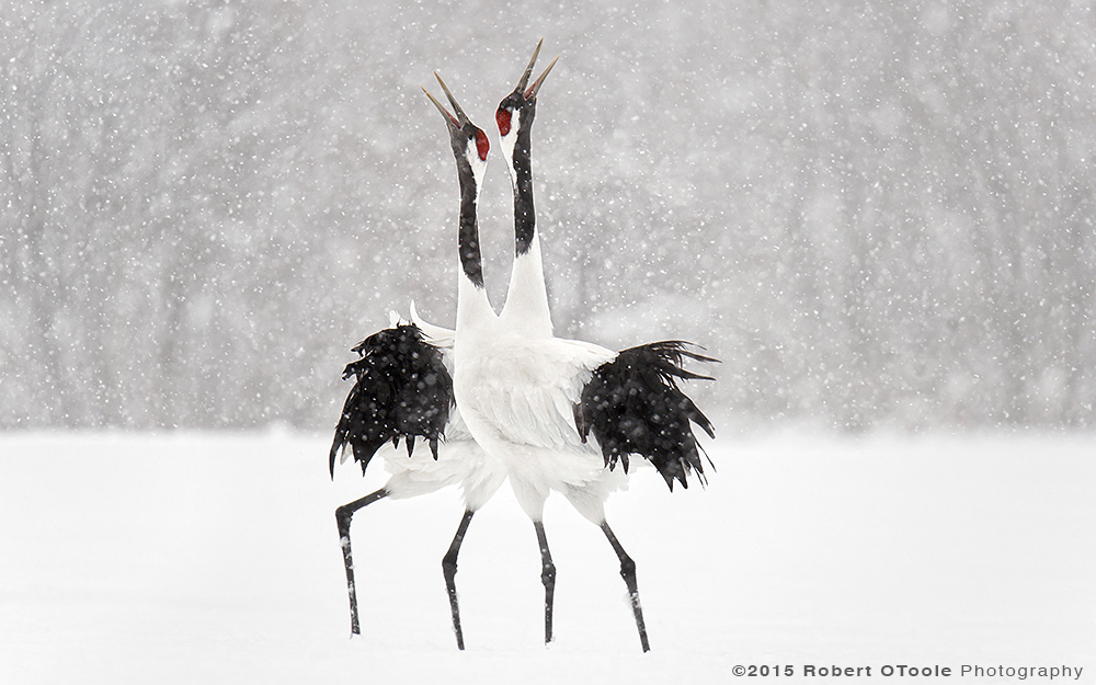 japanese-red-crowned-cranes-displaying-in-the-snow-robert-otoole-photography-2015