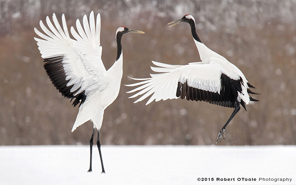 japanese-red-crowned-cranes-displaying-robert-otoole-photography-2015