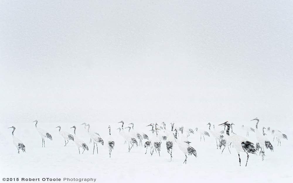 japanese-red-crowned-cranes-in-blizzard-robert-otoole-photography-2015