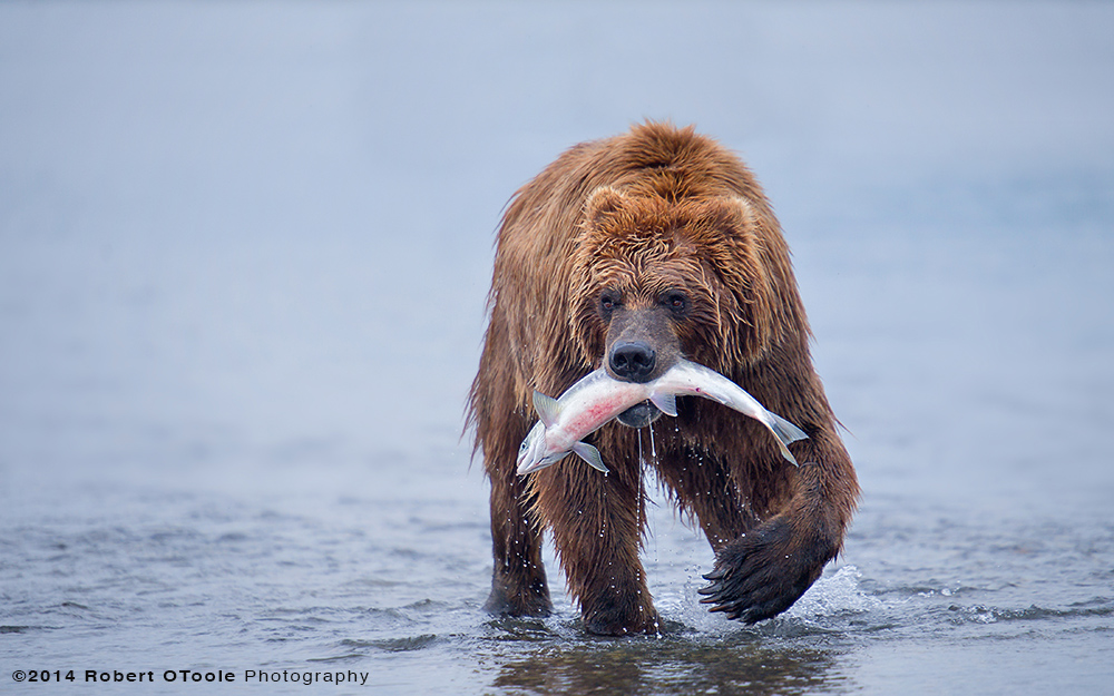 Brown-bear-with-silver-salmon-hallo-bay-Alaska-Robert-OToole-Photography