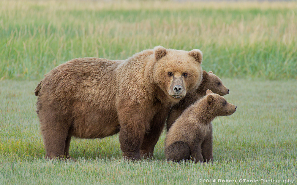 Brown-bear-with-two-spring-cubs-in-the-meadow-hallo-bay-Alaska-Robert-OToole-Photography