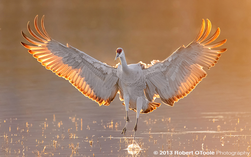 sandhill-crane-backlit-landing-bosque-new-mexico-2013-robert-otoole-photography