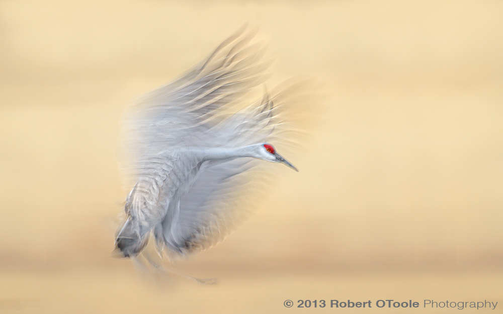 Sandhill-Crane-blur-1-20th-s-Bosque-New-Mexico-2013-RobertOToole-Photography