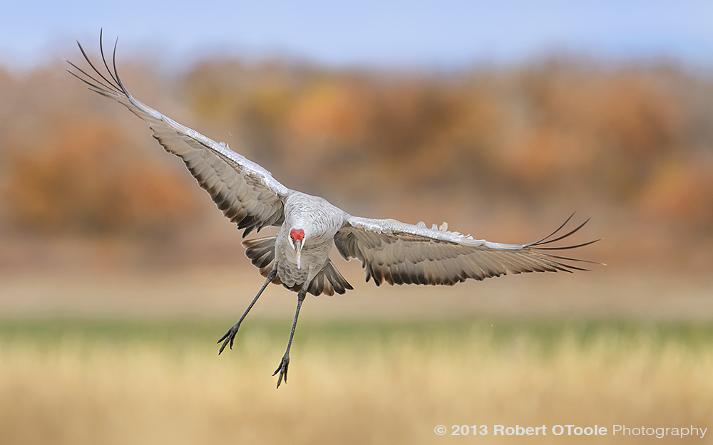 Sandhill-Crane-landing-Bosque-New-Mexico-2013-RobertOToole-Photography