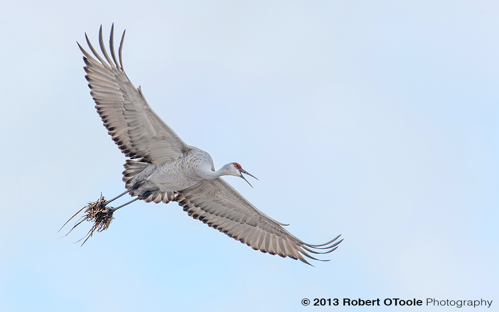Crane-with-clumps-of-mud-Bosque-New-Mexico-2013-RobertOToole-Photography