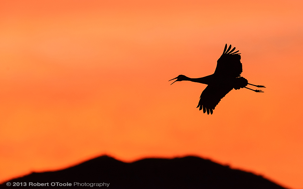 Single-Crane-landing-at-sunset-Bosque-New-Mexico-2013-RobertOToole-Photography