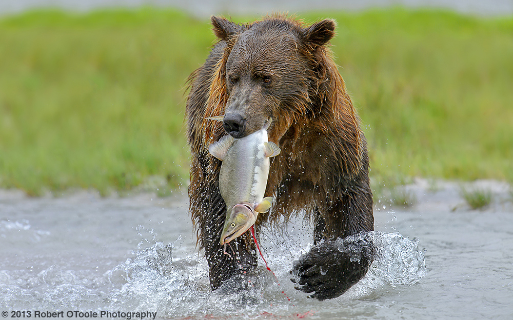 Brown-bear-with-pink-salmon-katmai-2013-Robert-OToole-Photography
